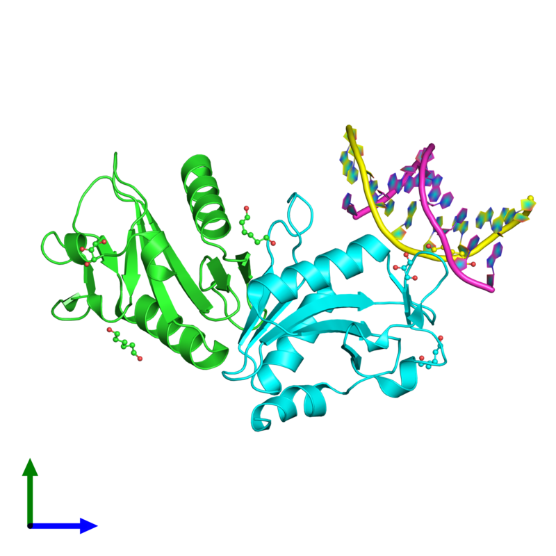 <div class='caption-body'><ul class ='image_legend_ul'>The deposited structure of PDB entry 2wiw coloured by chain and viewed from the front. The entry contains: <li class ='image_legend_li'>2 copies of Holliday junction resolvase Hjc</li><li class ='image_legend_li'>2 copies of 5'-D(*DC*DG*DG*DA*DT*DA*DT*DC*DC*DGP)-3'</li><li class ='image_legend_li'>2 non-polymeric entities<ul class ='image_legend_ul'><li class ='image_legend_li'>4 copies of HEXANE-1,6-DIOL</li><li class ='image_legend_li'>2 copies of GLYCEROL</li></ul></li></div>