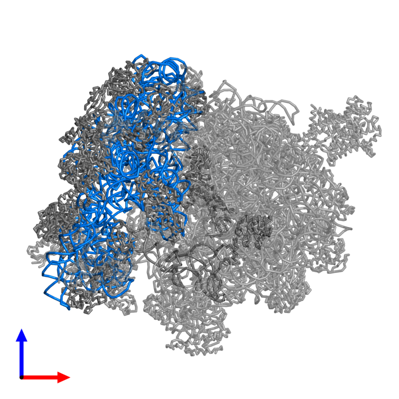 <div class='caption-body'>PDB entry 4v4n contains 1 copy of 16S ribosomal RNA in assembly 1. This RNA molecule is highlighted and viewed from the front.</div>