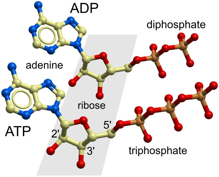 Getting A Good Rate Of Exchange The Mitochondrial Adp Atp Carrier