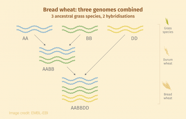 Bread wheat: three genomes combined.