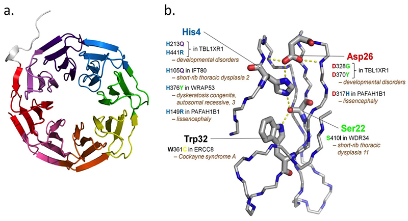 Disease-associated mutations affecting the DHSW tetrad in the WD40 motif of different proteins implicated in rare diseases