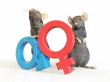 Is the sex of research animals misdirecting medical research? Image: Spencer Phillips