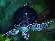 Green sea turtle. Photo courtesy of RIKEN