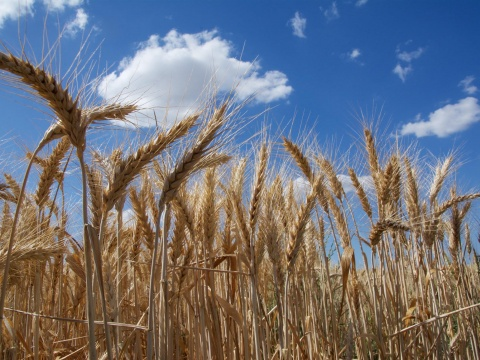 Wheat against a blue sky. New wheat genome assembly in Ensembl. Credit: International Wheat Genome Sequencing Consortium