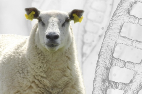 Sheep genome sequenced
