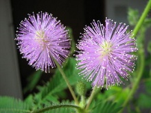 Mimosa pudica flowers (Wikimedia Commons)