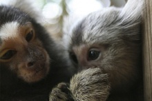 Marmoset image from Wikimedia Commons. Credit: Manfred Werner