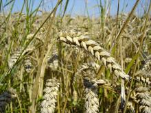 Wheat (Photo credit: Wikipedia)
