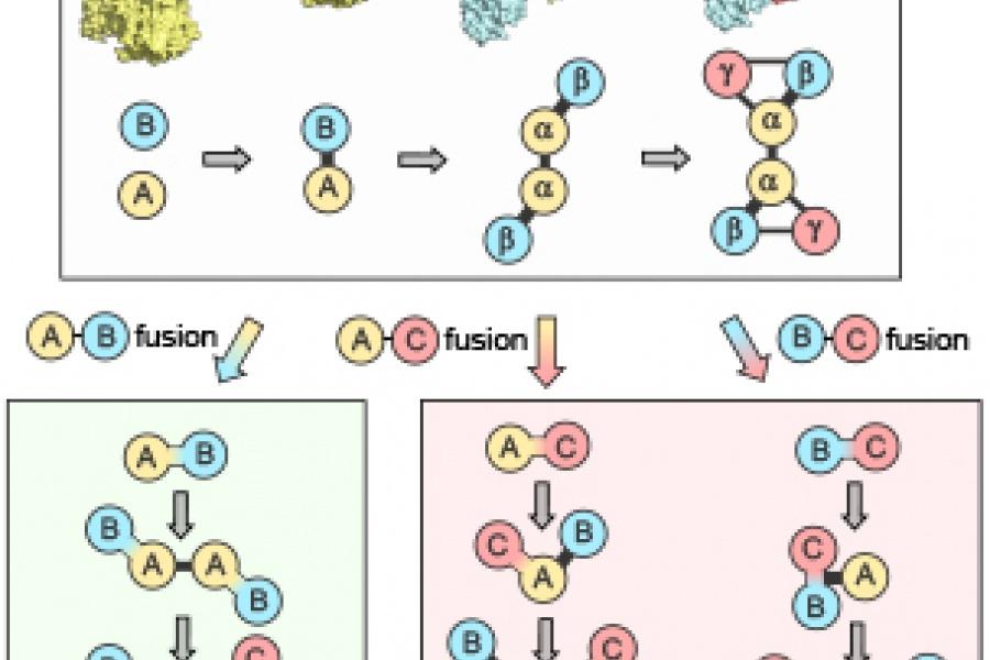 Protein assembly - Teichmann et al.