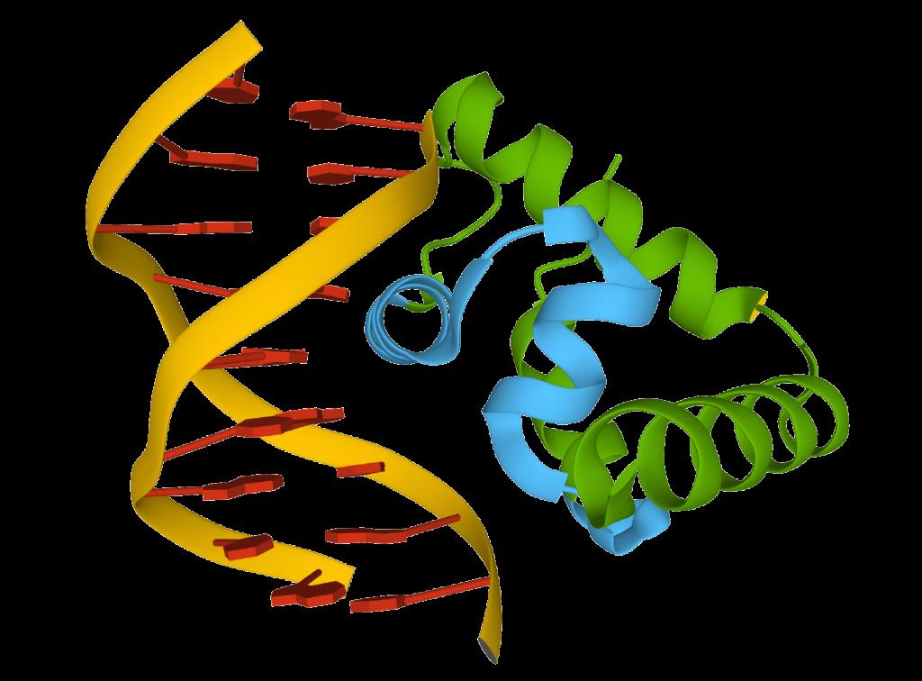 The transcription factor SATB1