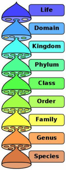 The Linnean classification of organisms