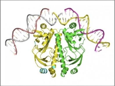 An example of a quaternary structure composed of two copies of a protein
