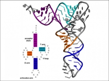 Secondary and tertiary structure of tRNA