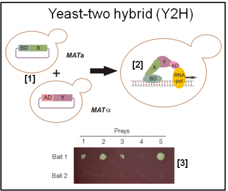 The yeast two hybrid (Y2H) concept and a typical readout