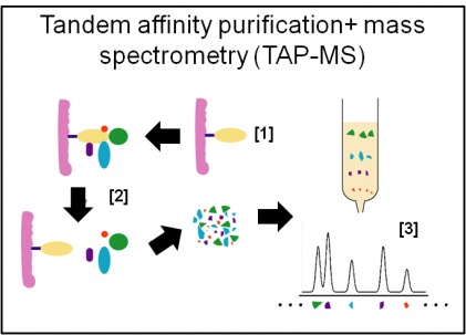 Affinity purification and mass spectometry