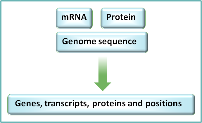 Sequences in public databases are aligned to the genome in order to determine positions of genes, along with splice variants
