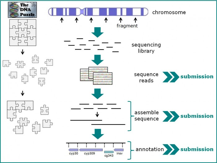 Sequencing is like making a DNA puzzle