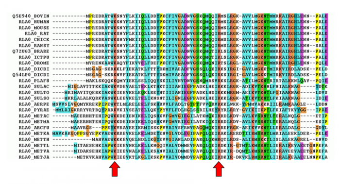 Figure  11.  Multiple sequence alignment for 60S acidic ribosomal protein P0 from different organisms (eukaryota and archaea). There are two amino acids indicated by red arrows, lysine (K) and arginine (R ), that are conserved in all  sequences. Multiple sequence alignment methods are important for identifying highly conserved residues that are essential for stability or function of the protein.