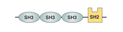 Figure  5.   Domain composition of Nck.  Nck contains three SH3 domains plus another domain known as SH2  (SRC homology 2). Both SH3 and SH2 domains are usually found in proteins that interact with other proteins and mediate assembly of protein complexes. SH3 domains typically bind to proline-rich peptides in their respective binding partners, while SH2 domains interact with phosphotyrosine-containing target peptides.